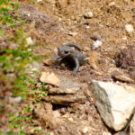 Alpensalamander © Gipfelfieber.com
