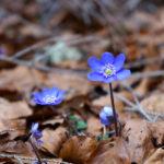 Frühlingsboten © Gipfelfieber.com