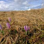 Frühlingskrokusse © Gipfelfieber.com