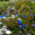 Frühlingsenzian © Gipfelfieber.com