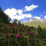 Alpenrosen © Gipfelfieber.com