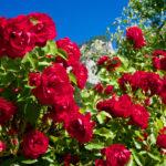 Rote Rosen am Wegesrand © Gipfelfieber.com