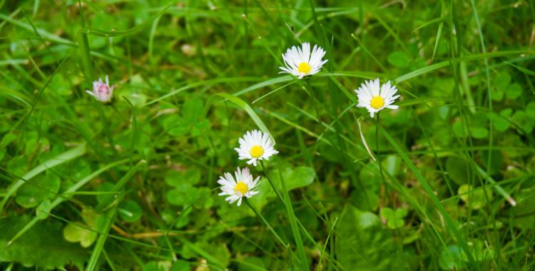 Gänseblümchen © Gipfelfieber.com