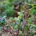 Einzelne Heidelbeere © Gipfelfieber.com