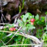 Preiselbeeren © Gipfelfieber.com