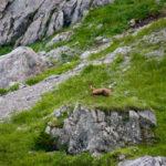 Eine Gams © Gipfelfieber.com