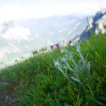 Edelweiß und Karwendel ©Gipfelfieber