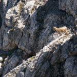 Zwei Steinböcke in der Nordwand ©Gipfelfieber