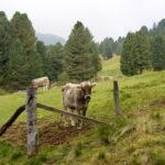 Glückliche Kuh ©Gipfelfieber