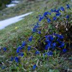 Frühlingsenzian ©Gipfelfieber